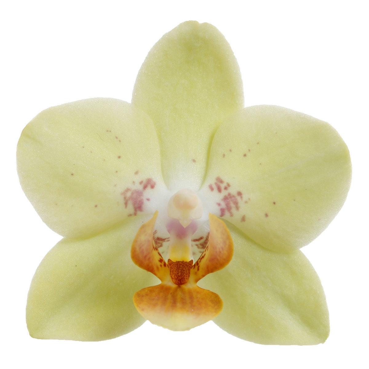 Schmetterlings-Orchidee Sunshine inklusive Über- und Wasserspeichertopf | #6