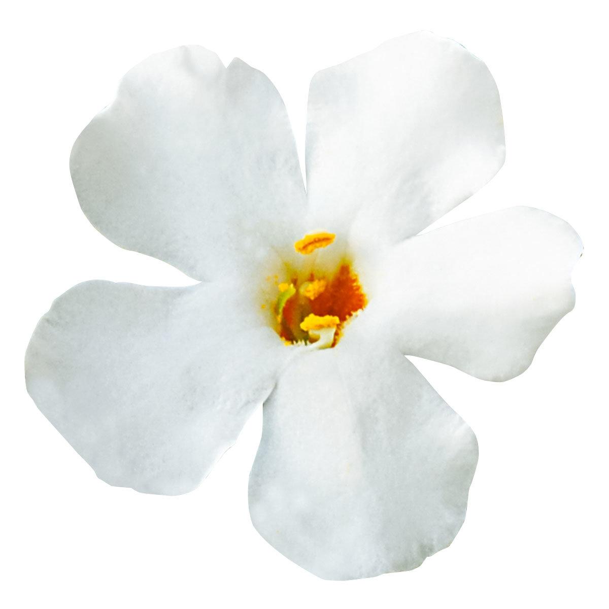 Weiße Schneeflockenblume, im ca. 11 cm-Topf | #6