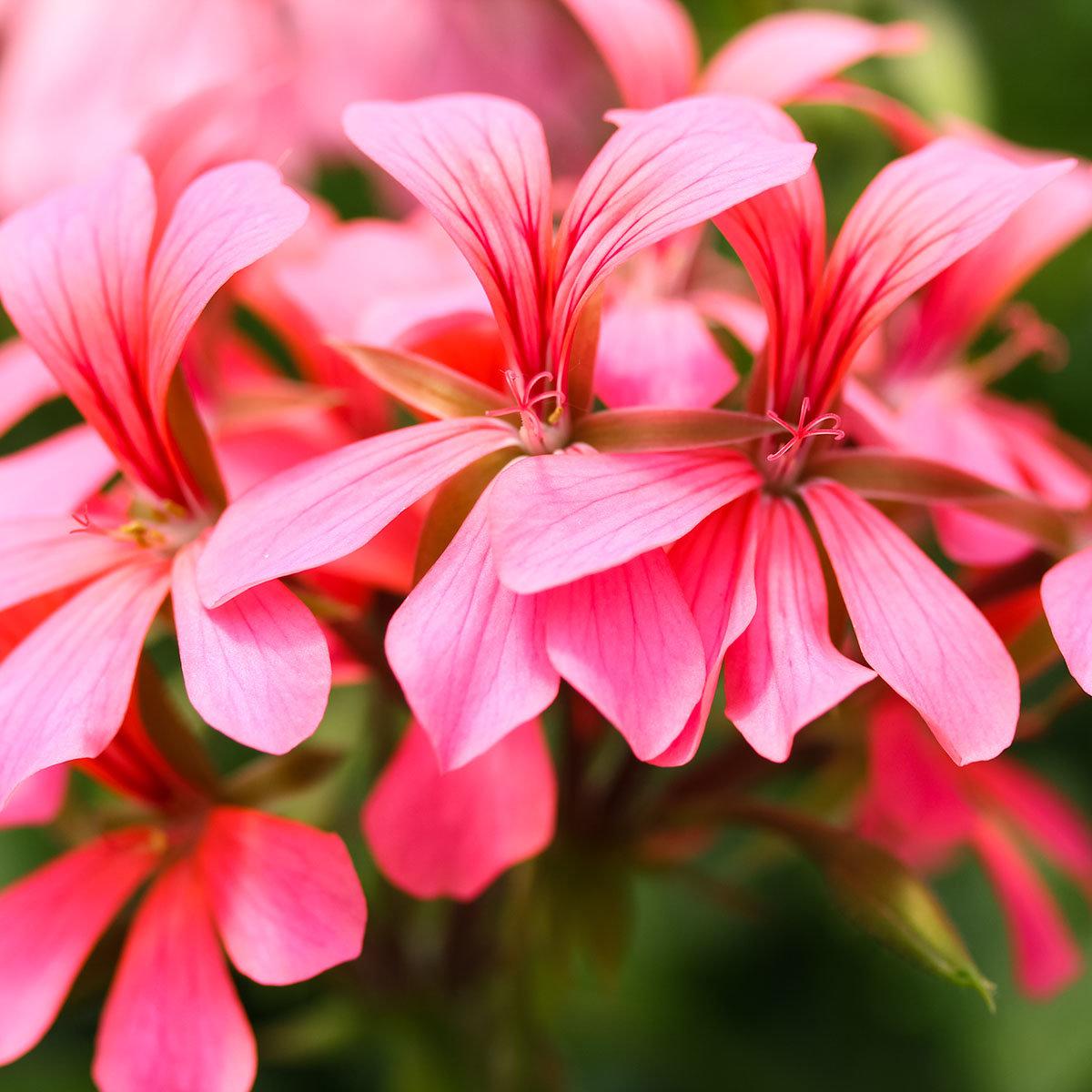 Sommerblumen-Set Hänge-Geranien, 6 Stück, im ca. 12 cm-Topf | #6