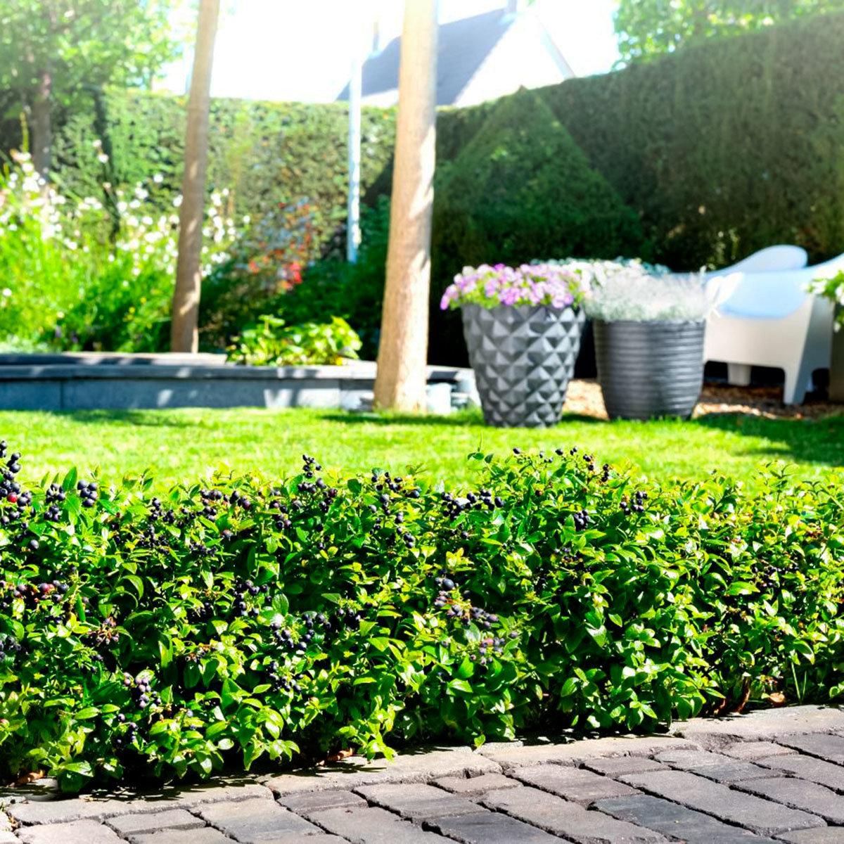 Heidelbeere BrazelBerry® Berry Bux® - Laufender Meter, 6 Pflanzen, im ca. 11 cm-Topf | #6