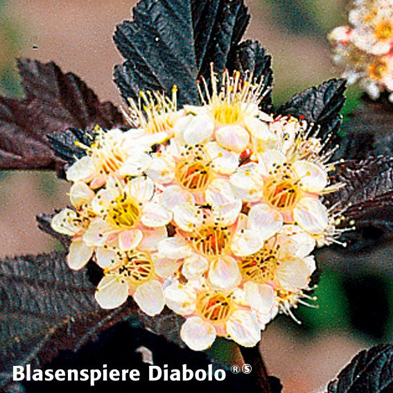 Gärtner Pötschkes Blütenhecke, 5 Pflanzen | #6