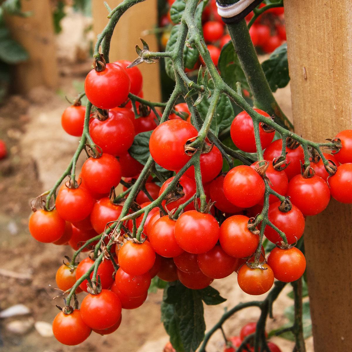 Tomatenpflanze Solena Sweet Red, veredelt, im ca. 12 cm-Topf | #7