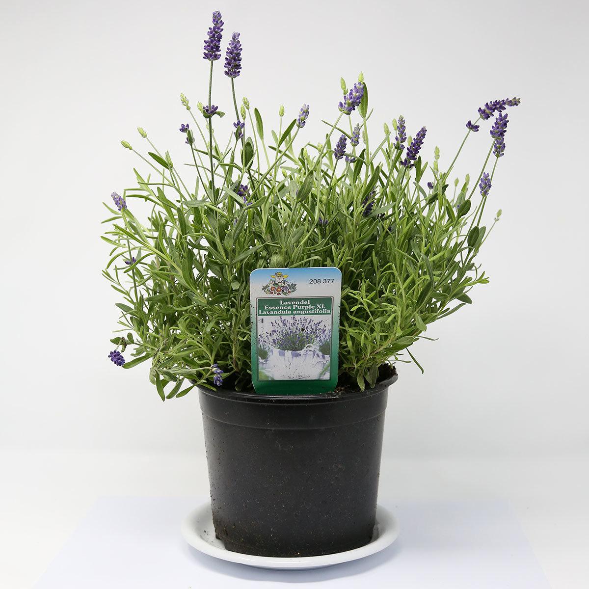 Lavendel Essence Purple, im ca. 19 cm-Topf | #7