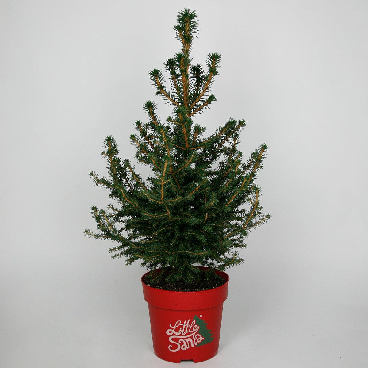 Zwergfichte Little Santa®, im ca. 23 cm-Topf | #7
