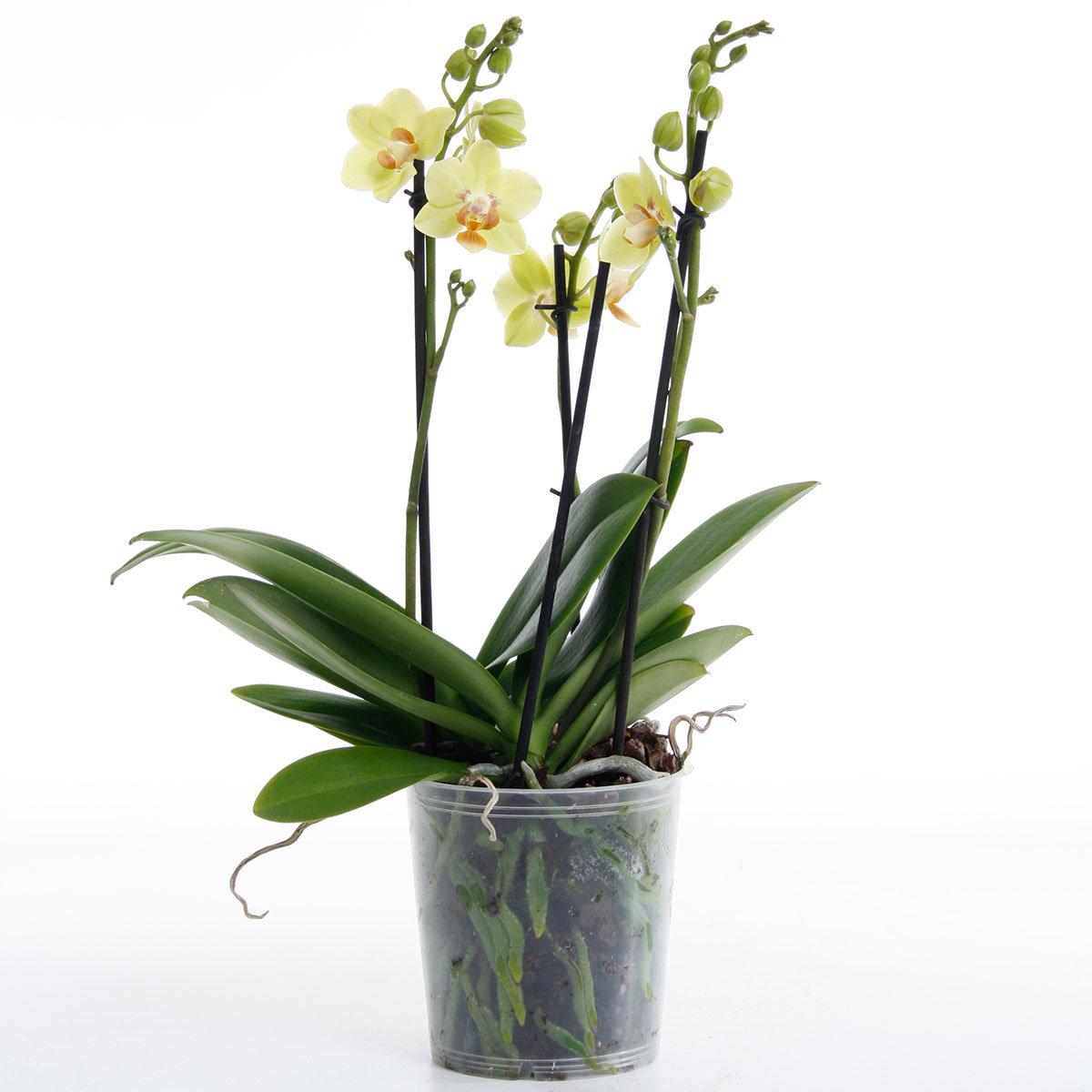Schmetterlings-Orchidee Sunshine inklusive Über- und Wasserspeichertopf | #7