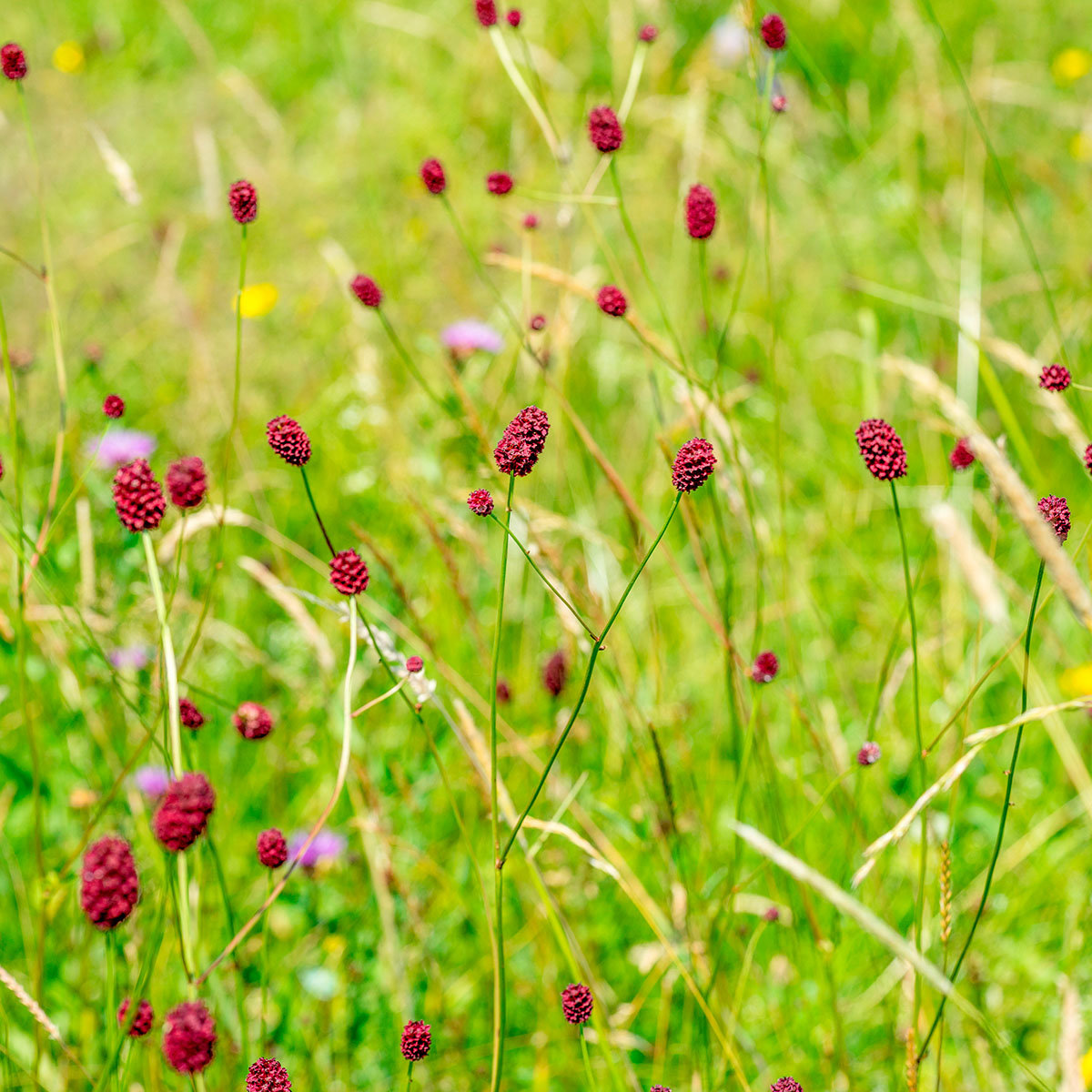 Seedball Marienkäfer-Blumenwiese, 20 Seedballs | #7
