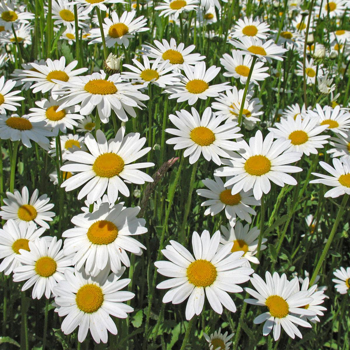 Seedball Blumenwiese für den Schatten, 20 Seedballs | #7