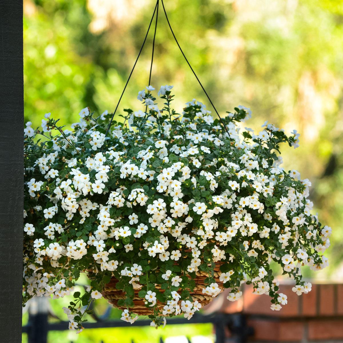 Weiße Schneeflockenblume, im ca. 11 cm-Topf | #7