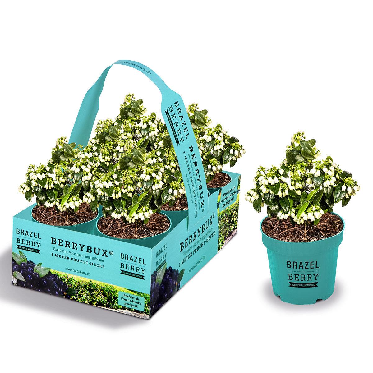 Heidelbeere BrazelBerry® Berry Bux® - Laufender Meter, 6 Pflanzen, im ca. 11 cm-Topf | #8