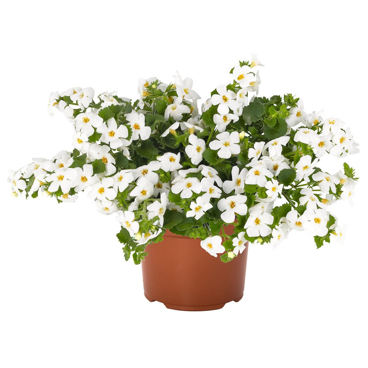 Weiße Schneeflockenblume, im ca. 11 cm-Topf | #9
