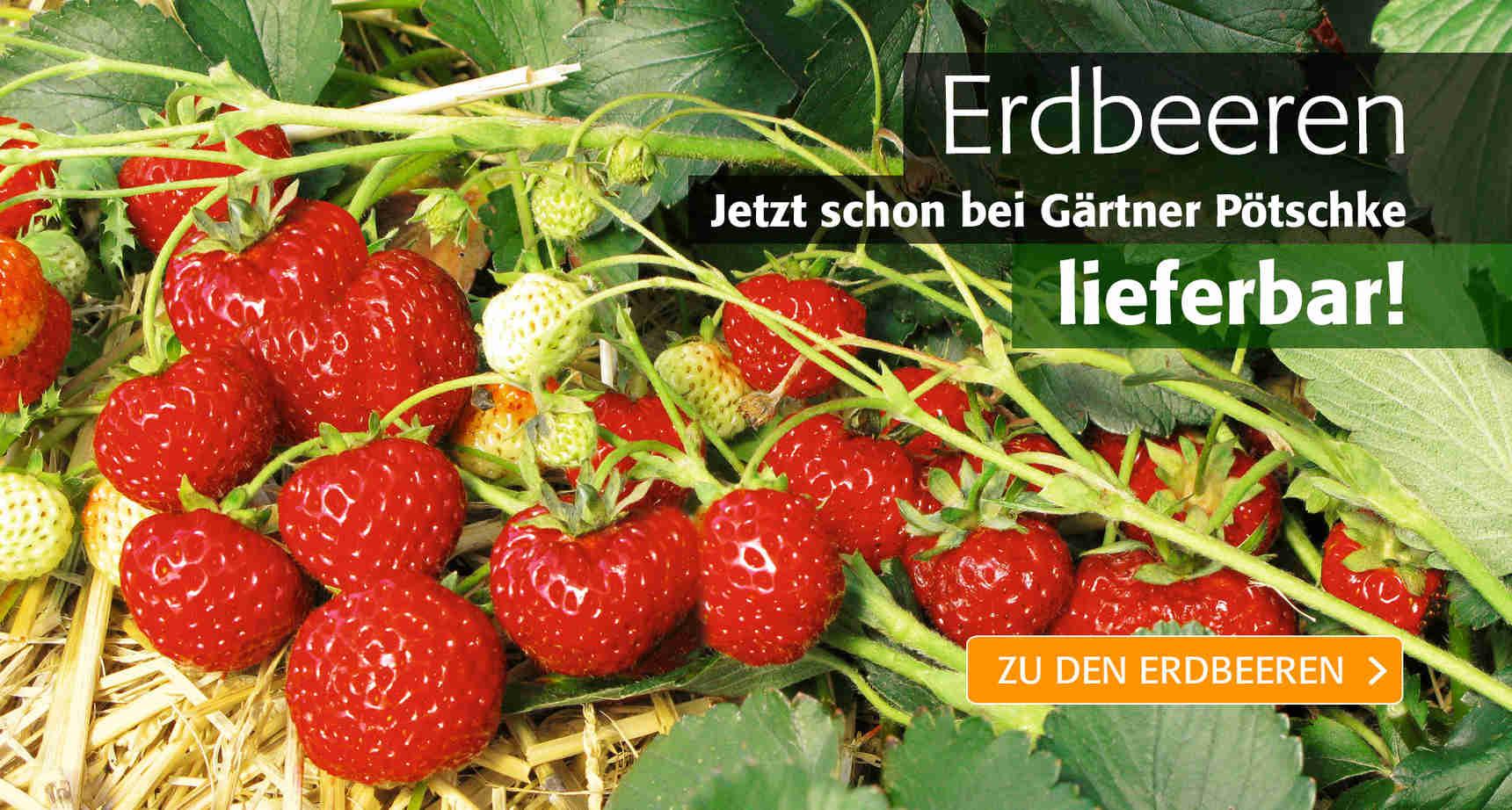 +++ Erdbeeren +++ - 3