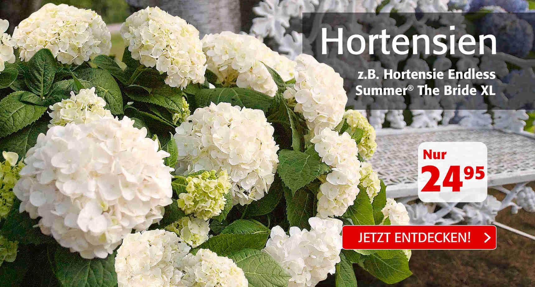 +++ (1) Hortensien +++ - 3