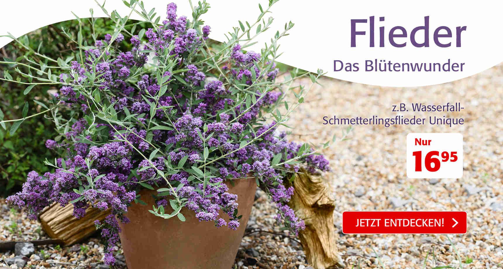 +++ (3) Flieder +++ - 3