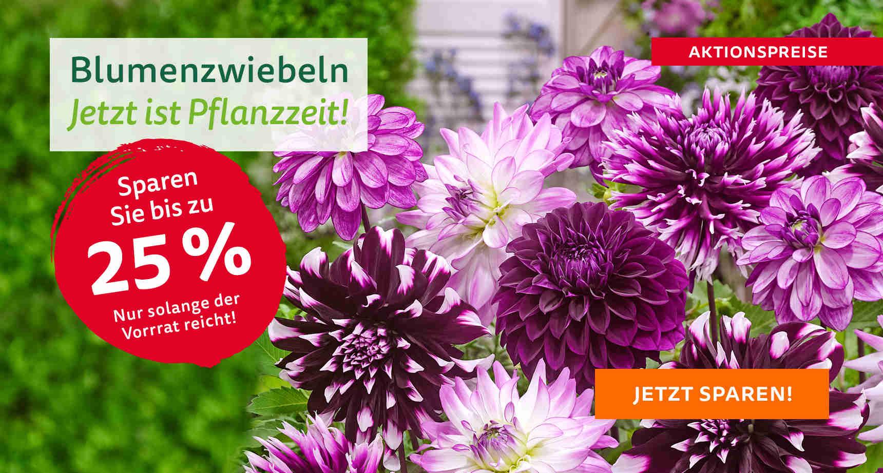 +++ (2) Blumenzwiebeln +++ - 3