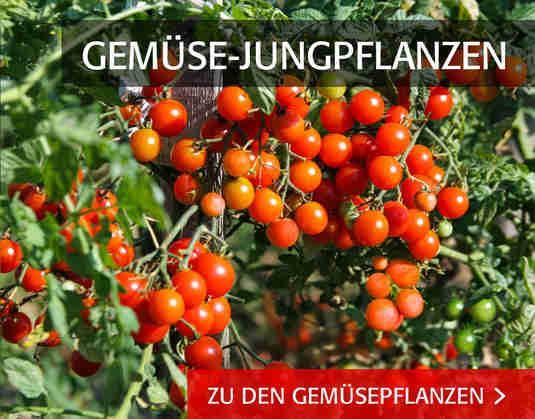 + Gemüse-Jungpflanzen +
