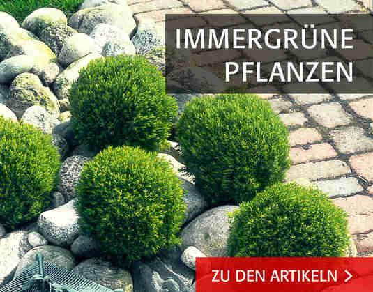 + Immergrüne +