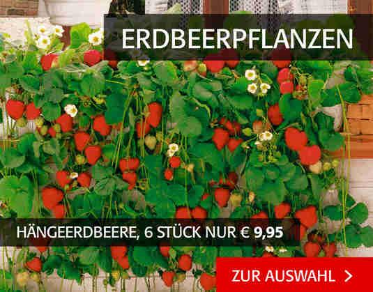 + (4) Erbeerpflanzen +