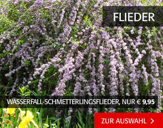 + (2) Flieder +