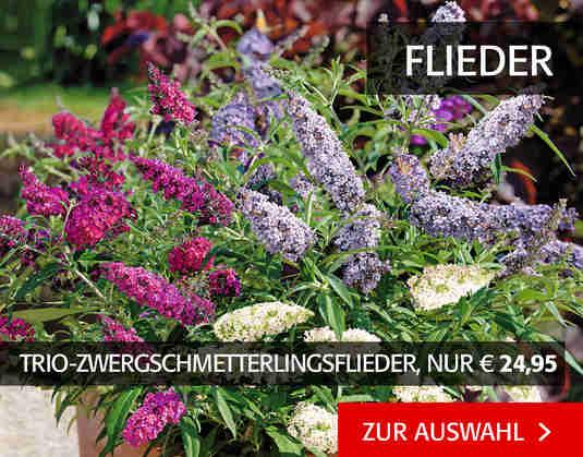 + (2) Schmetterlingsflieder +