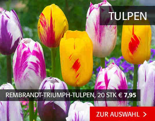 + (3) Tulpen +