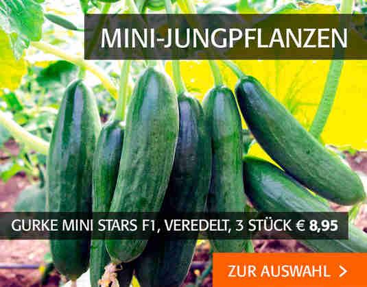 + (3) Mini-Jungpflanzen +