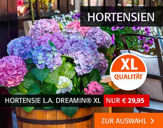 + (2) Hortensien +