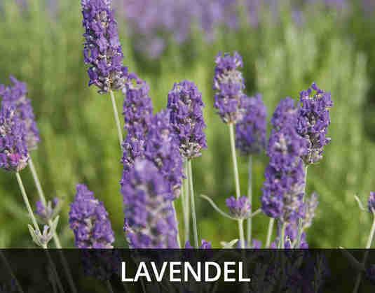 + (4) Lavendel +