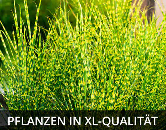 + (3) XL-Pflanzen +