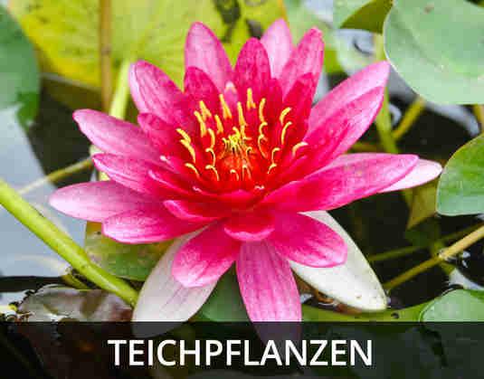 + (4) Teichpflanzen +