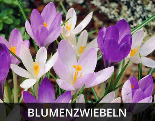 + (2) Blumenzwiebeln +