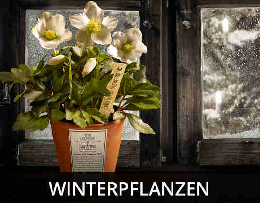 + (3) Winterpflanzen +