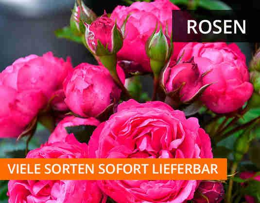 + (2) Rosen +