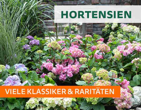+ (4) Hortensien +
