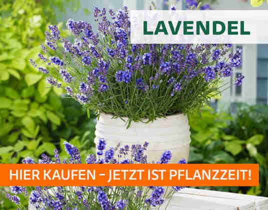 + (2) Lavendel +