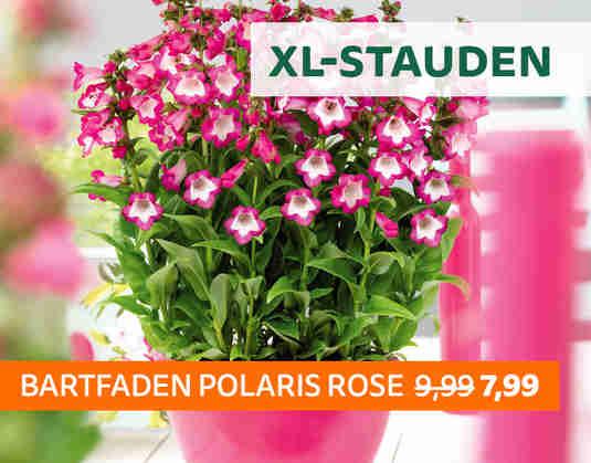 + (3) XL-Stauden +