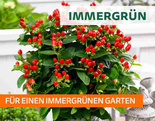 + (2) Immergrün +