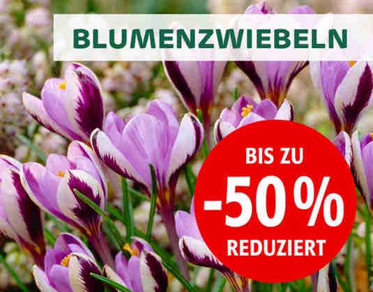 + (1) BlumenzwiebelSale +