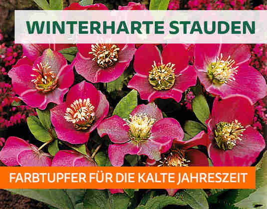+ (2) WinterharteStauden +