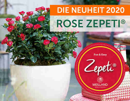 + (4) Beetrose Zepeti +