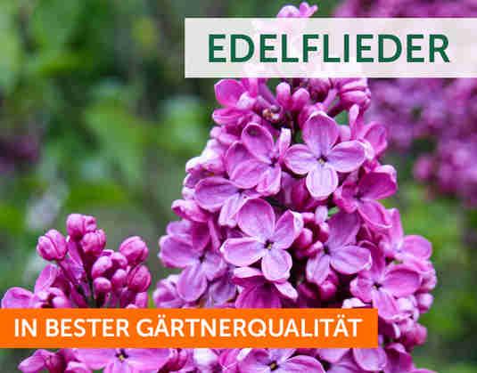 + (4) Edelflieder +