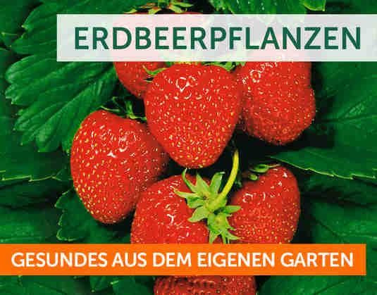 + Erdbeeren +