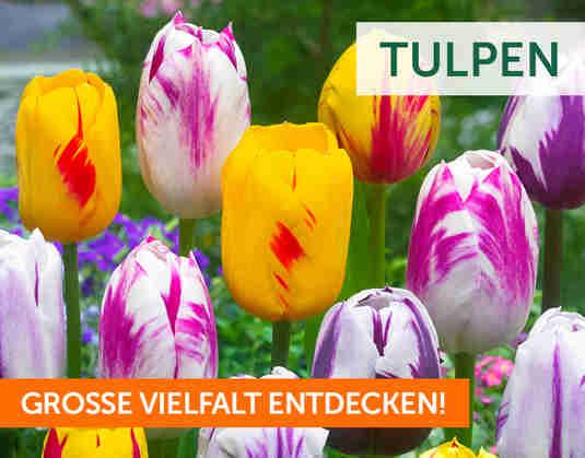 + Tulpen +