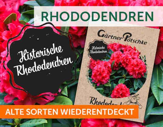 + Historische Rhododendren +