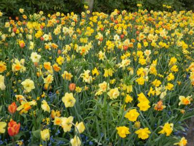 bunte Frühjahrsbepflanzung mit Narzissen