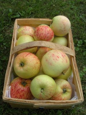 Reife Äpfel in einem Korb