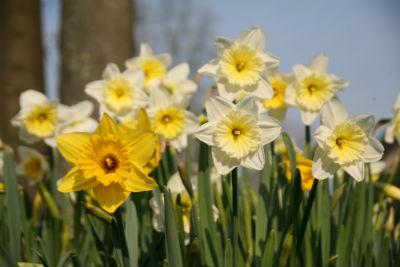 gelbe und weiße Narzissen