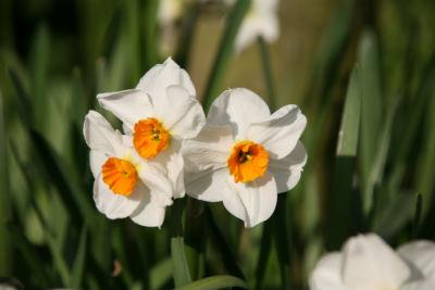 weiße Narzissen mit orangem Auge