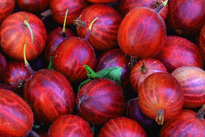 Rote Stachelbeeren nach der Ernte