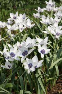 weiße Wild-Tulpen
