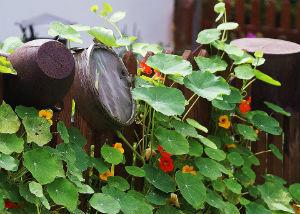 Kapuzinerkresse an einem Zaun